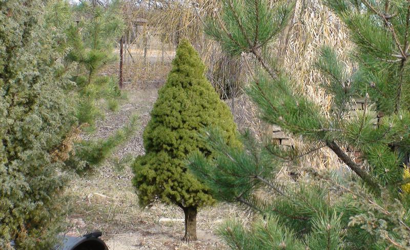 Paul's Garden - Picea Glauca Conica